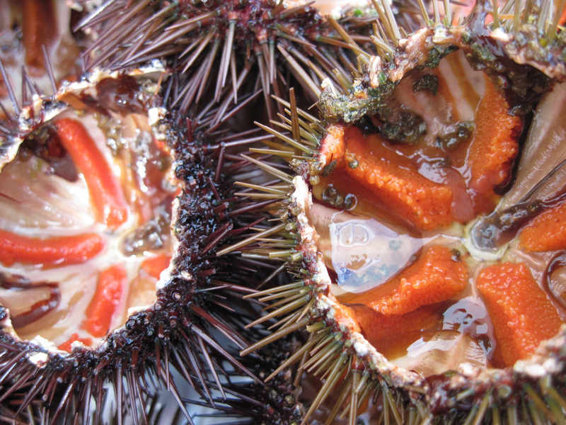 sea-urchins